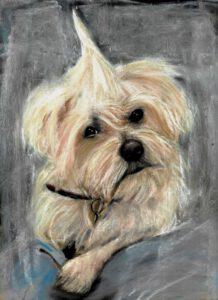 hondenportret in pastel Malthezer